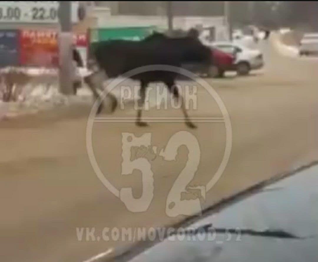 Соцсети: лоси спровоцировали ДТП в Арзамасе - фото 1