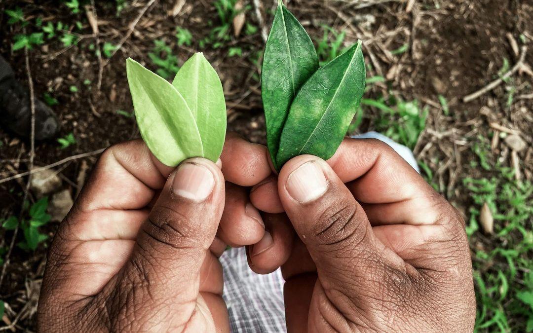 Кока растение листья